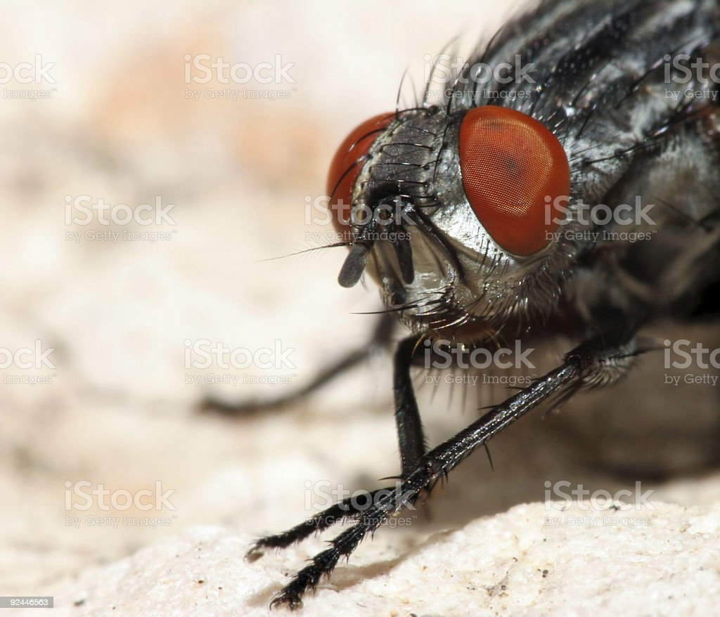 Close-up of a housefly with red eyes stock photo