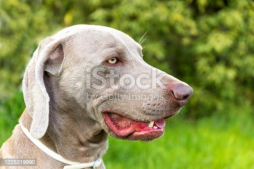 Close-up of a hunting dog. Loyal friend. Head of Weimaraner. Collar against ticks. Dog's eyes.