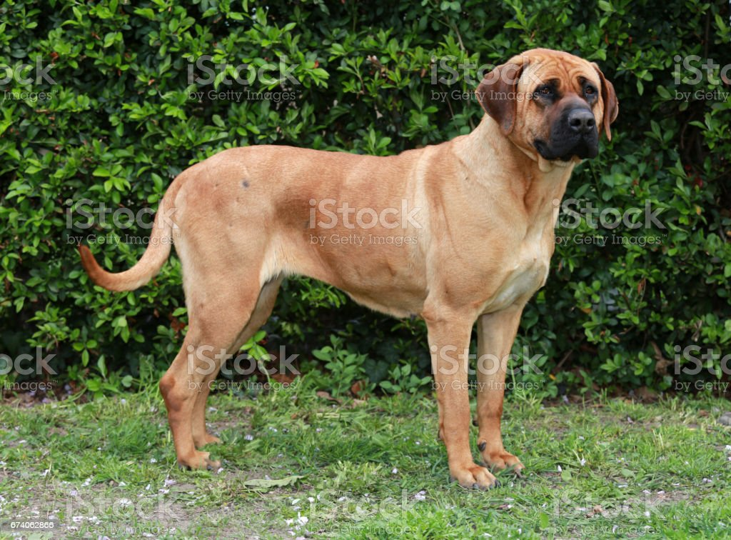 Closeup of a japanese bandog tosa inu in the green royalty-free stock photo