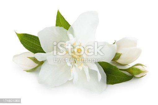 Close-up shot of jasmine flower. Isolated on white.