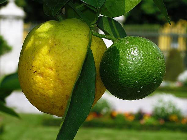 Nahaufnahme eines saftige Zitrone und Limette Obst – Foto