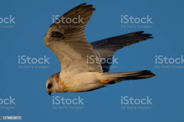 Photo of Close-up of a juvenile white-tailed kite flying in the wild, seen in beautiful light in North California