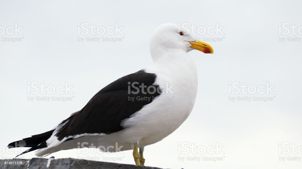 Close-up of a kelp gull stock photo