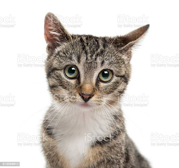Closeup of a kittenin front of a white background picture id510059912?b=1&k=6&m=510059912&s=612x612&h=z7qikwzqly41ojwqdfie4o4qzvzqggfmo 2b i 31ss=