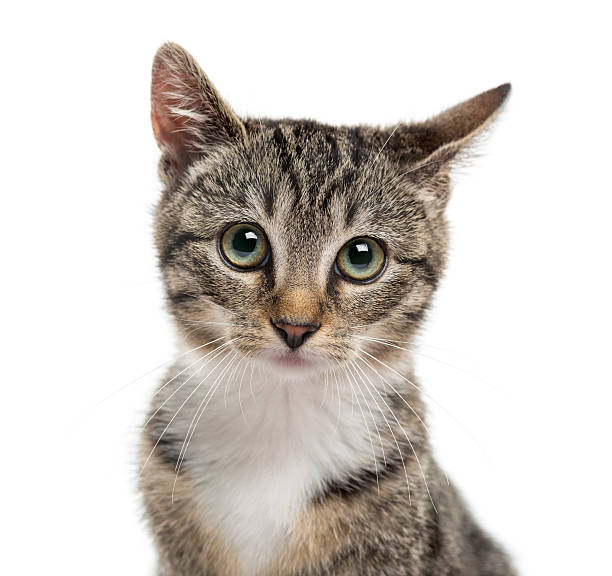 Closeup of a kittenin front of a white background picture id510059912?b=1&k=6&m=510059912&s=612x612&w=0&h=pljkj0 ogtoj4eep3wc6kmgzjpccmnklfymd3i xgse=