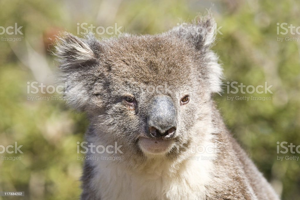 Close-up of a koala royalty-free stock photo