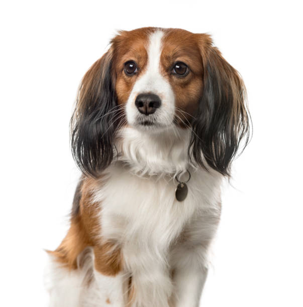 Closeup of a kooikerhondje sitting 6 years old isolated on white picture id823781440?b=1&k=6&m=823781440&s=612x612&w=0&h= d9 uj5i9zum0pv o2m2kh2u74fteydue1vnpccfkuc=