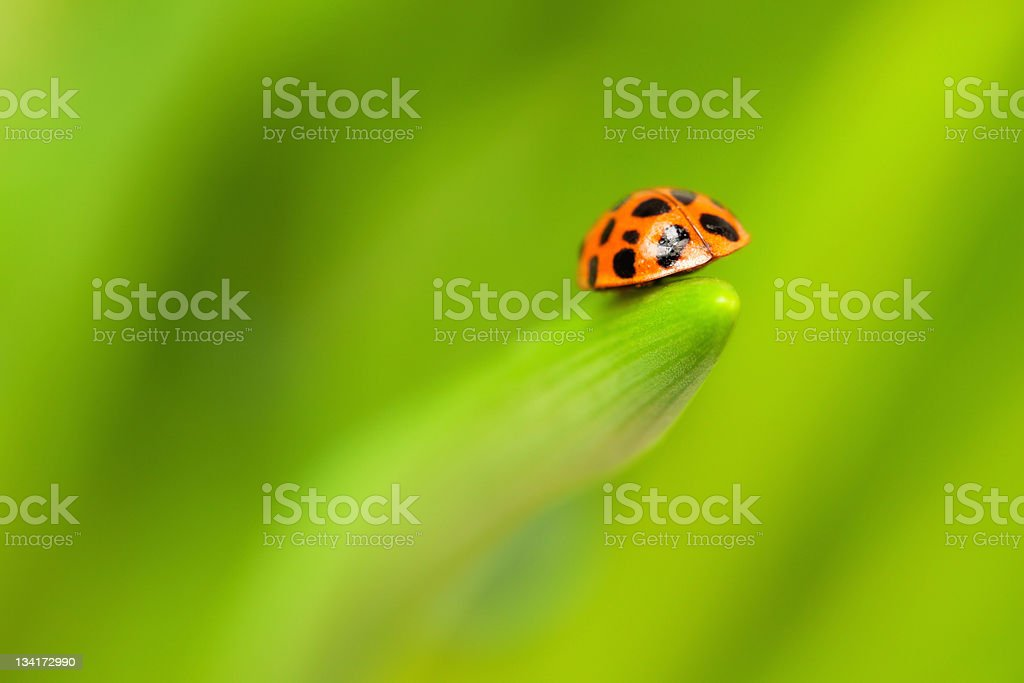 Close-up of a Ladybird royalty-free stock photo