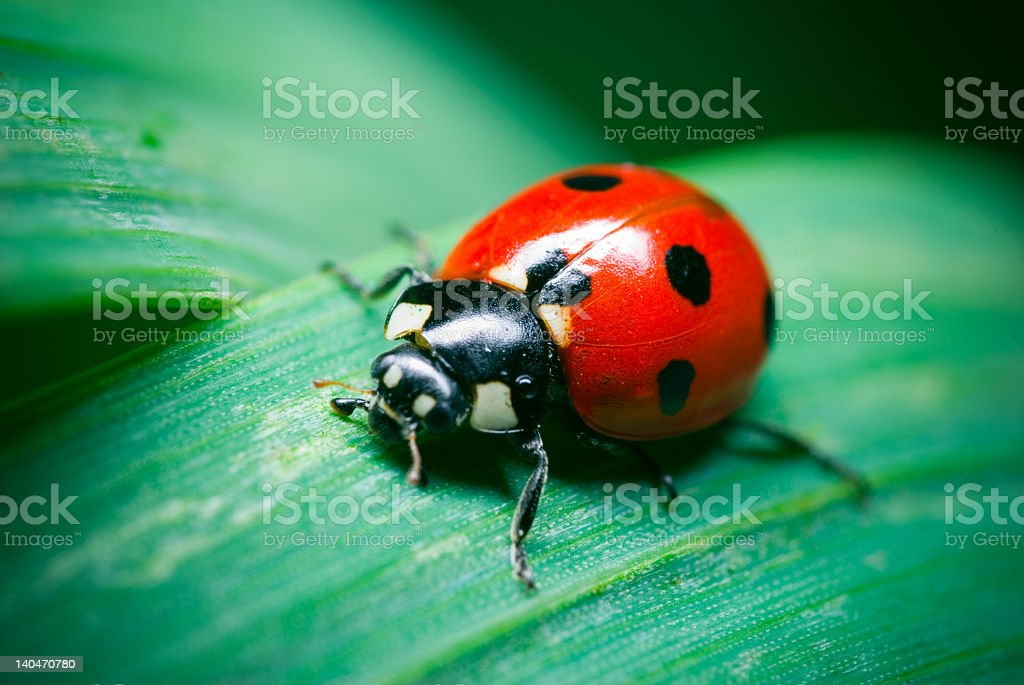 A close-up of a ladybug on a piece of grass stock photo