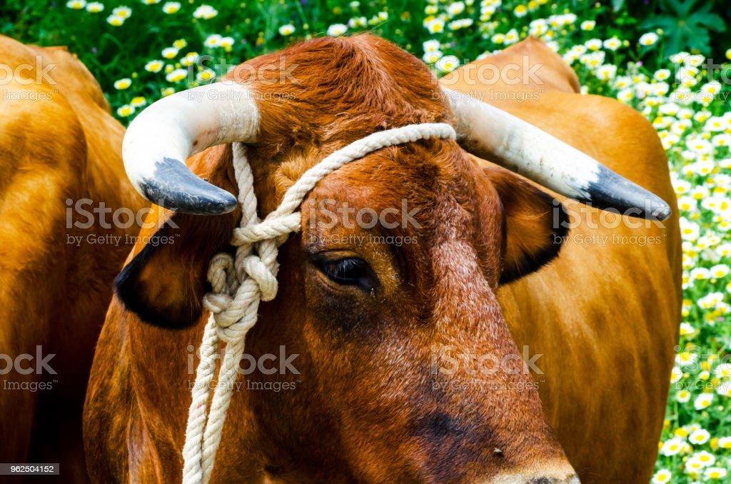 close up da cabeça de um boi grande amarrou uma corda para a calha, animal de fazenda - Foto de stock de Agricultura royalty-free
