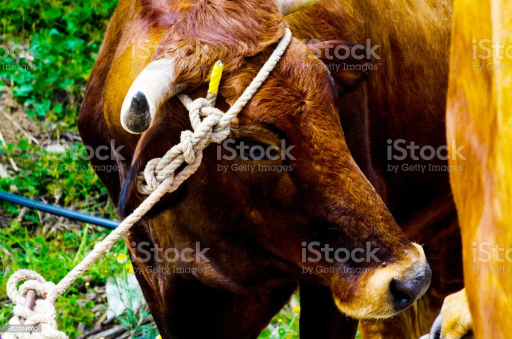 closeup of a large head of an ox tied a rope to the trough, farm animal, - Royalty-free Agriculture Stock Photo