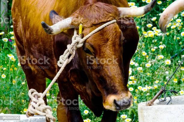 Foto de Close Up Da Cabeça De Um Boi Grande Amarrou Uma Corda Para A Calha Animal De Fazenda e mais fotos de stock de Agricultura