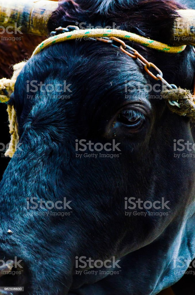 close up da cabeça de um boi grande amarrou uma corda para a calha, animal de fazenda, - Foto de stock de Agricultura royalty-free