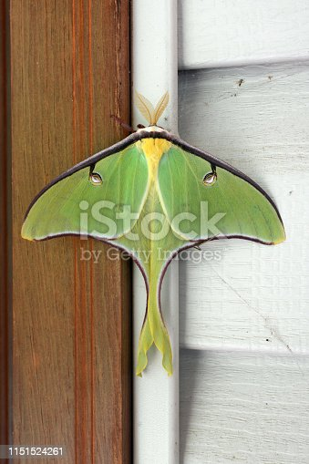 istock Close-up of a large luna moth, scientific name Actias luna 1151524261