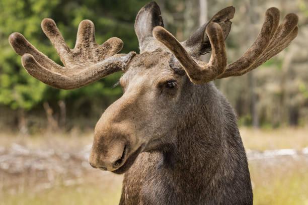Nahaufnahme von einem großen männlichen Elch-Bock – Foto