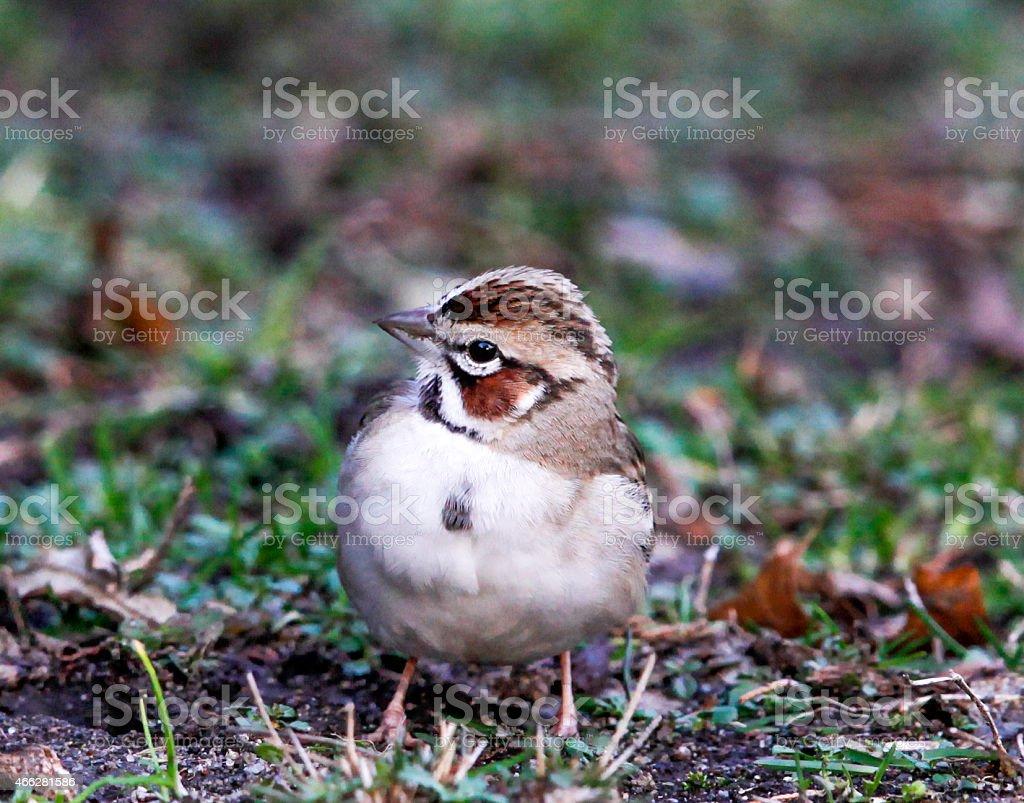 Close-up of a Lark Sparrow stock photo