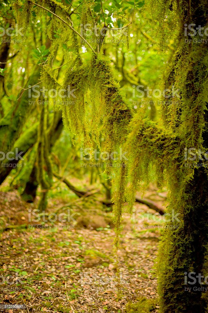 Close-up of a Laurel Forest Tree in Garajonay National Park stock photo