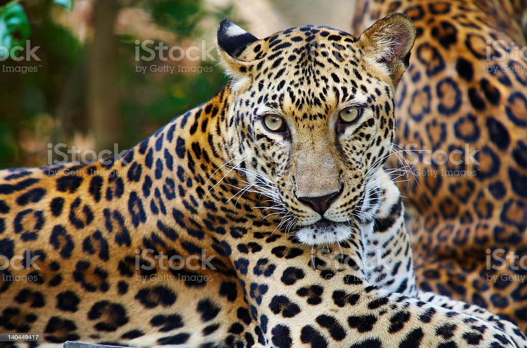 Close-up of a leopard with brown and yellow spots stock photo