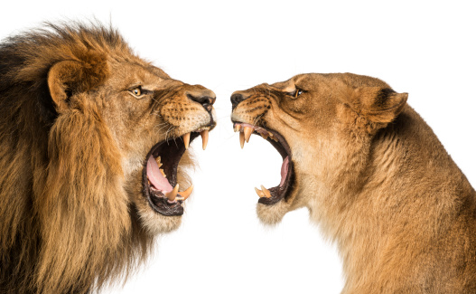 istock Close-up of a Lion and Lioness roaring at each other 483447803