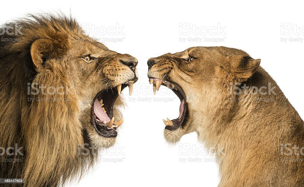 Close-up of a Lion and Lioness roaring at each other stock photo