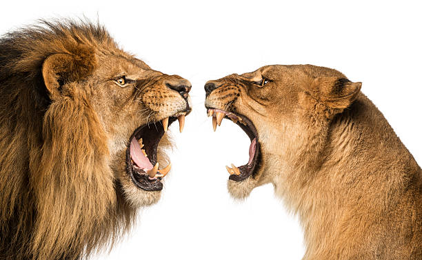 close-up of a lion and lioness roaring at each other - lion stock photos and pictures