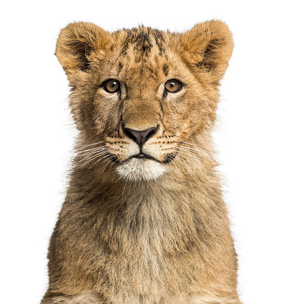 Closeup of a lion cub looking at the camera picture id483655217?b=1&k=6&m=483655217&s=612x612&w=0&h=oramjpa7f5 fwwrjts32mf0ks 099k7 knioa8jgv 8=