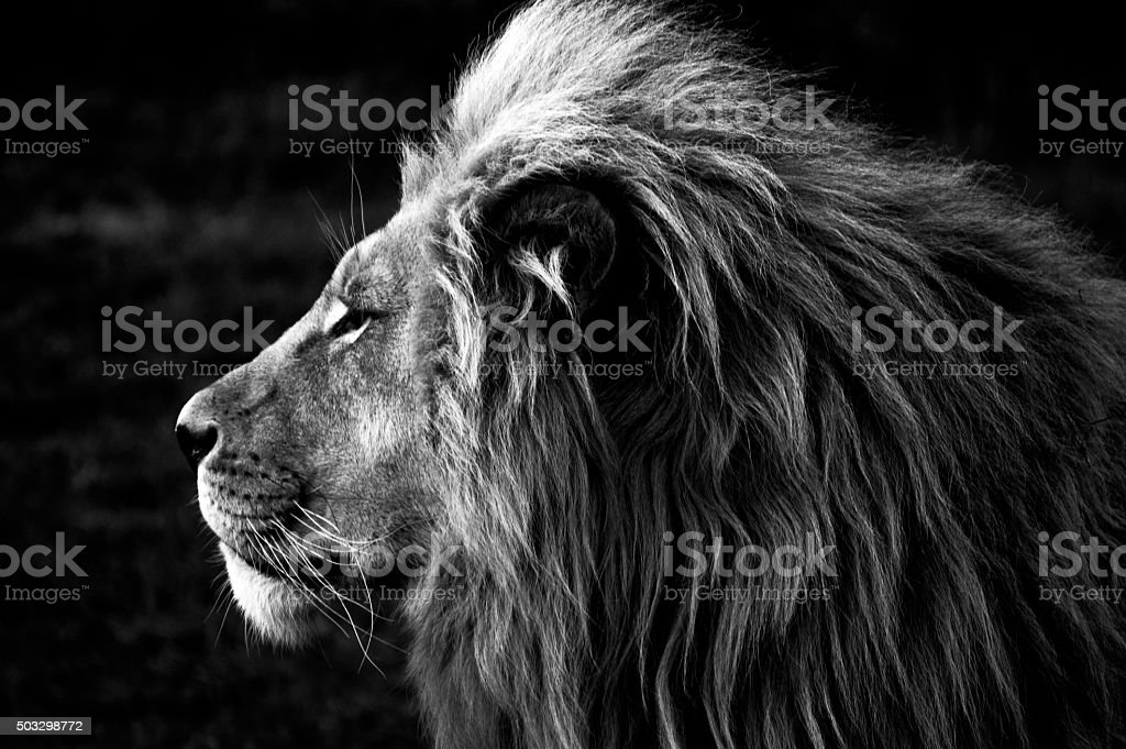 Close-up of a Lion (B&W) stock photo