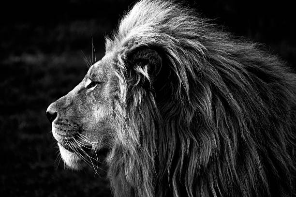 close-up of a lion (b&w) - wildlife stock photos and pictures