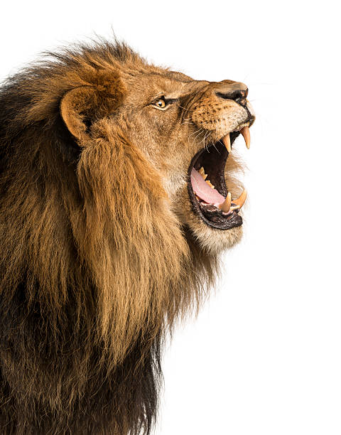 close-up of a lion roaring, isolated on white - lion stock photos and pictures