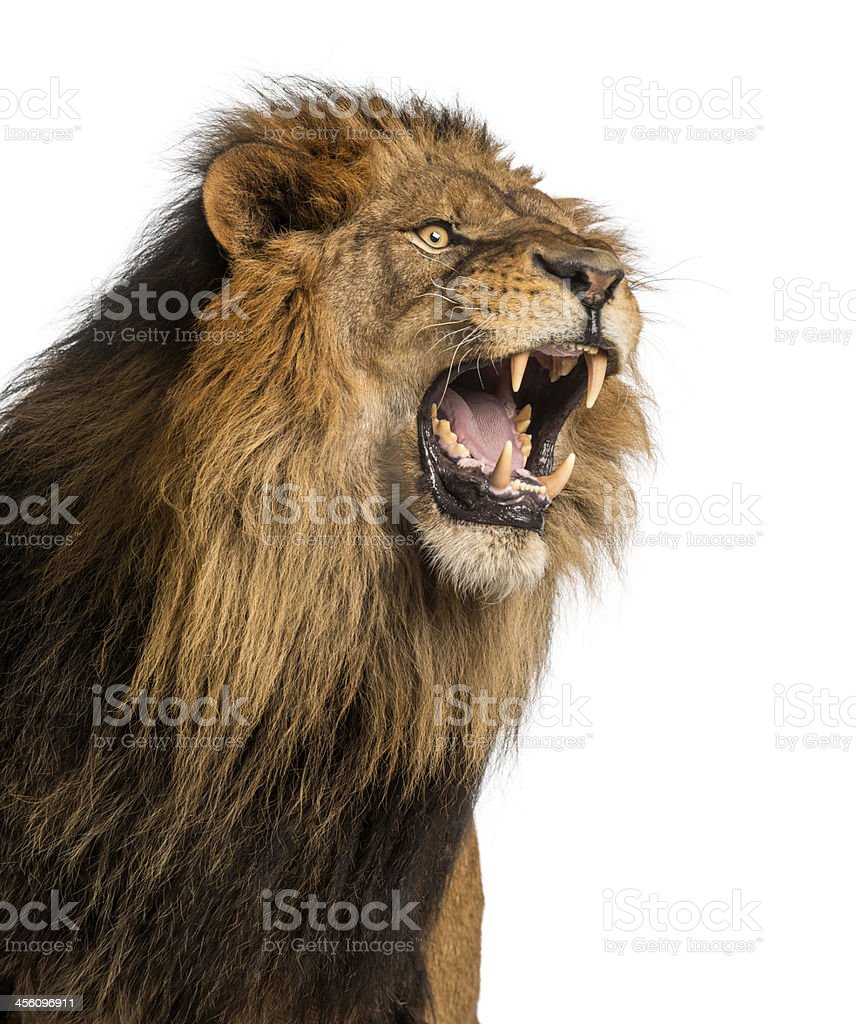 Close-up of a Lion roaring, Panthera Leo, 10 years old stock photo