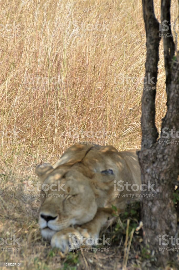 Close-up of a lion sleeping. stock photo