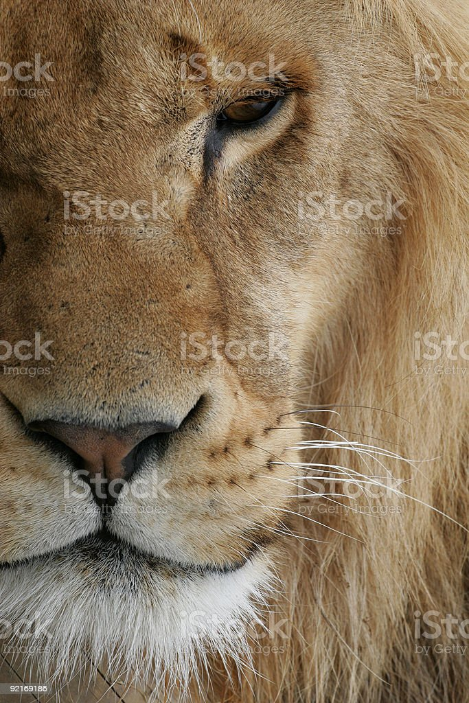A close-up of a lion with half its face in the frame stock photo