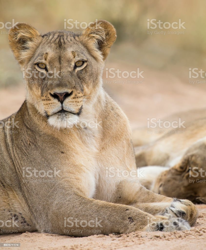 Close-up of a lioness lying down to rest on the soft Kalahari sand stock photo