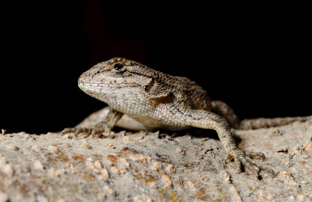 gros plan d'un lézard sur un journal - herpétologie photos et images de collection