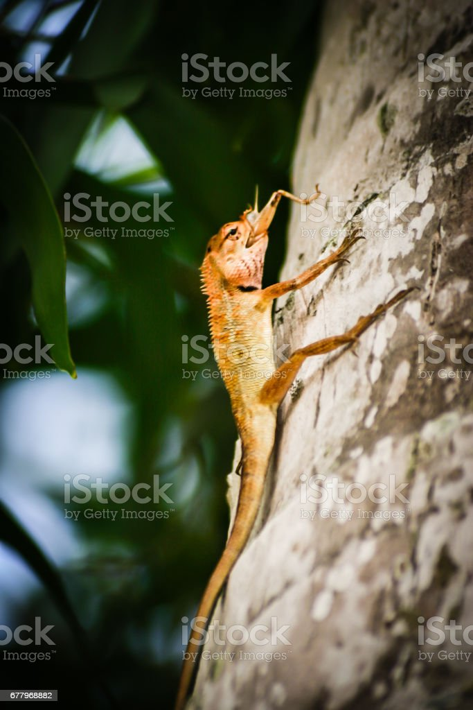 Closeup of a lizards kind of reptiles. Sitting on a  palm. Eating a insect. stock photo