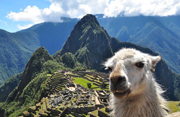 Close-up of a llama overlooking Machu Picchu, Peru stock photo
