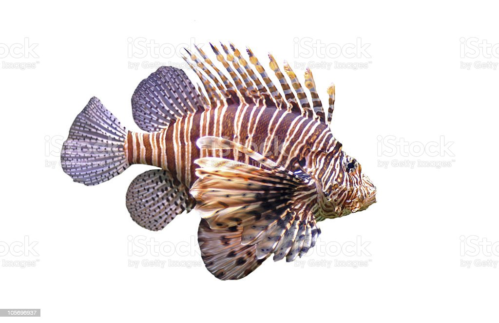 Close-up of a lone red lionfish on a white background stock photo