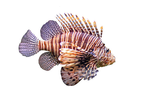 close-up of a lone red lionfish on a white background - lionfish stock photos and pictures