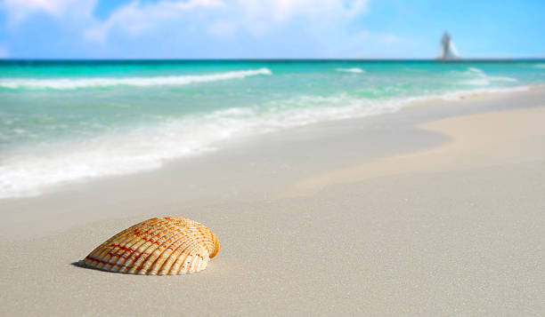 A closeup of a lone seashell on a sandy beach stock photo