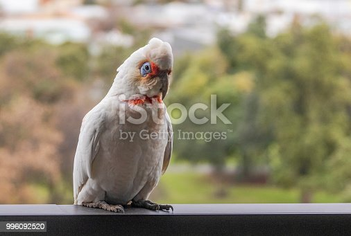 Close-up of a long-billed or slender-billed corella with defocussed city park in background