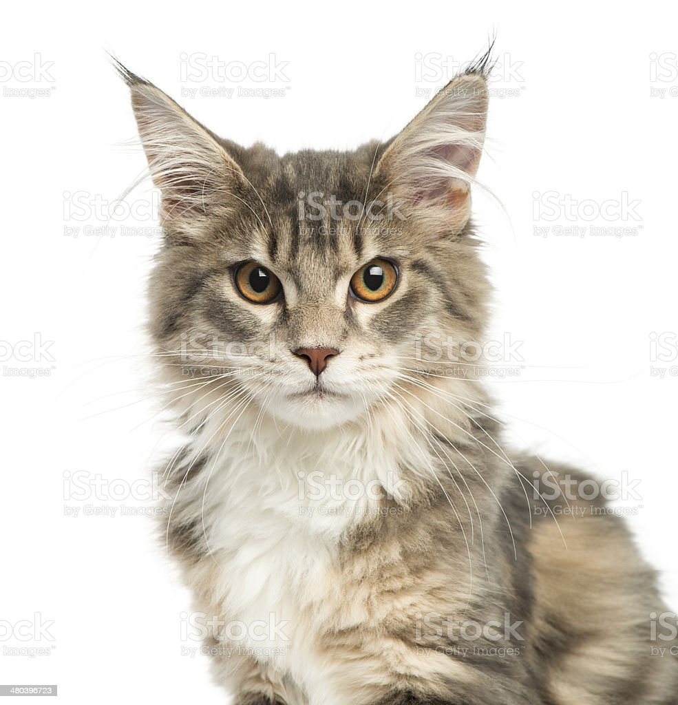 Close-up of a Maine Coon kitten, looking at the camera stock photo