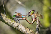 Closeup of a male and female emperor dragonfly or blue emperor Anax imperator, mating in a tree in a dark forest