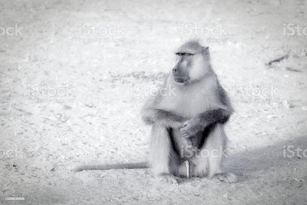 Gros plan d'un babouin mâle - Photo