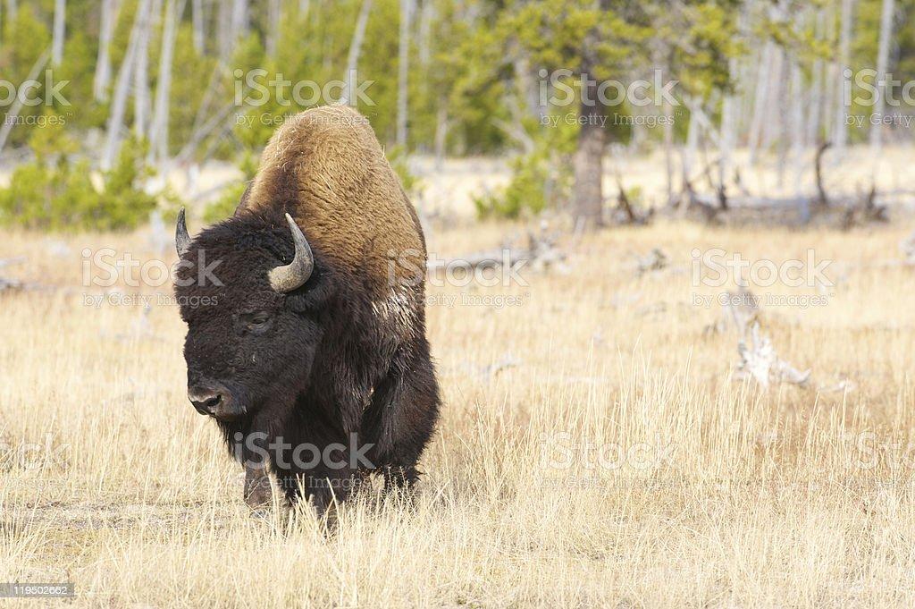 Nahaufnahme von einem männlichen bison – Foto