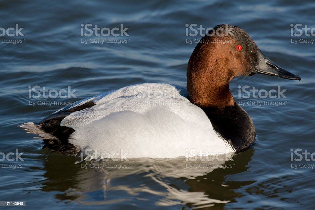 Closeup of a Male Canvasback Duck (Aythya valisineria) royalty-free stock photo