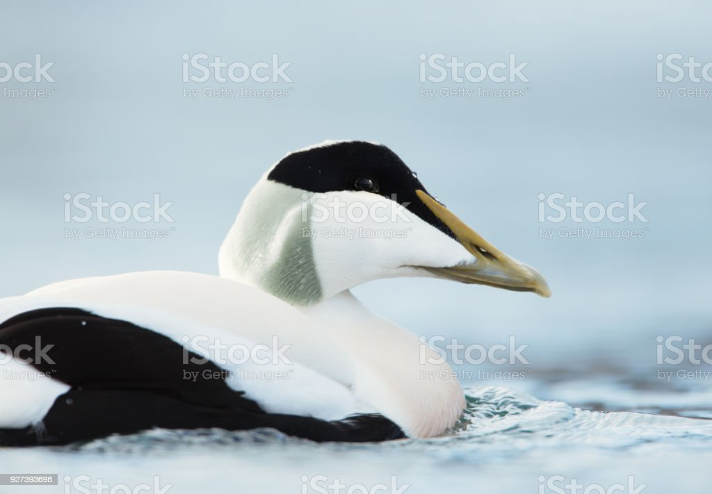 Close-up of a male common eider stock photo