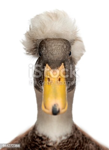 Close-up of a Male Crested Duck, lophonetta specularioides, looking at camera, isolated on white
