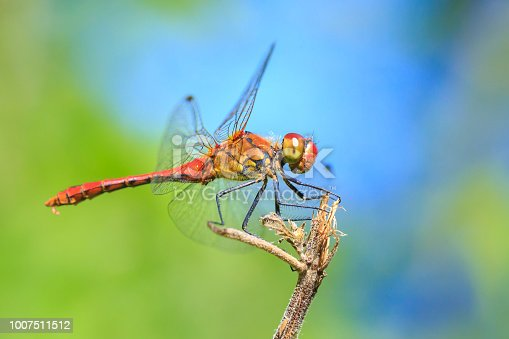 Close-up of a red colored male ruddy darter (Sympetrum sanguineum) hanging on vegetation. Resting in sunlight in a meadow.