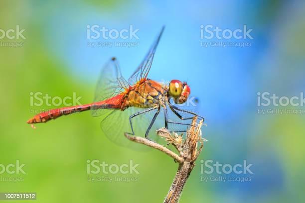 Closeup of a male red colored ruddy darter resting in sunlight in a picture id1007511512?b=1&k=6&m=1007511512&s=612x612&h=xjioqhwpvsbhwdemv4cutu7ytceinhphcrfv zk  bw=