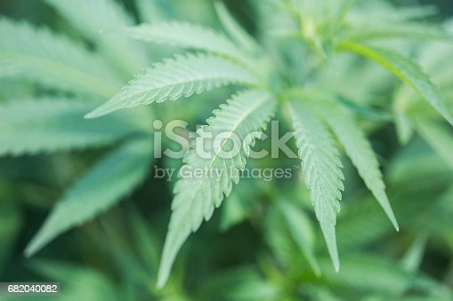 istock Close-up of a marijuana plant, also called pot or cannabis among other names, which is used by some people with chronic illnesses as an alternative medicine. 682040082